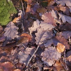 Photographie n°95749 du taxon Quercus robur L. [1753]
