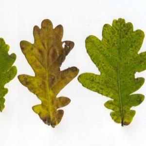 Photographie n°95751 du taxon Quercus robur L. [1753]