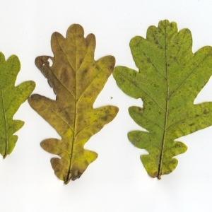 Photographie n°95752 du taxon Quercus robur L. [1753]