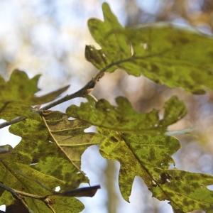 Photographie n°95755 du taxon Quercus robur L. [1753]