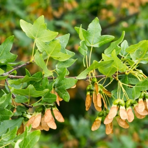 Photographie n°95756 du taxon Acer monspessulanum L. [1753]