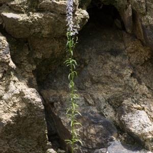 Photographie n°95757 du taxon Anarrhinum bellidifolium (L.) Willd.