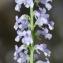 Jean-Jacques Houdré - Anarrhinum bellidifolium (L.) Willd. [1800]