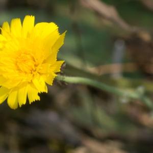 Hieracium glaucinum Jord. (Épervière bleuâtre)