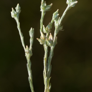 Photographie n°95808 du taxon Logfia minima (Sm.) Dumort. [1827]