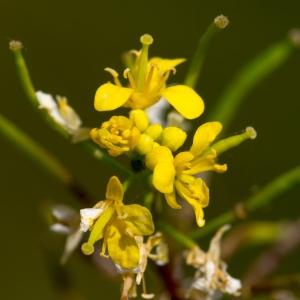 - Rorippa sylvestris (L.) Besser