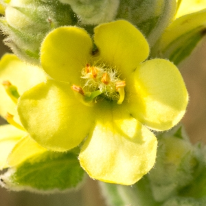 Photographie n°95820 du taxon Verbascum thapsus L.