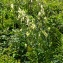 Jean-Jacques Houdré - Aconitum lycoctonum subsp. neapolitanum (Ten.) Nyman [1878]