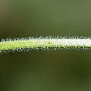 Photographie n°95842 du taxon Clinopodium vulgare L. [1753]