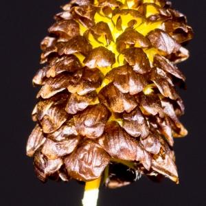 Trifolium montanum sensu L. [1753, p.772] (Trèfle marron)
