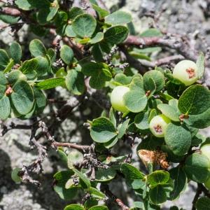 Photographie n°95875 du taxon Vaccinium uliginosum L. [1753]