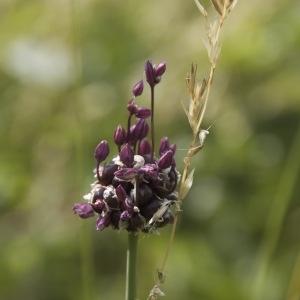 Allium scorodoprasum L. (Rocambole)