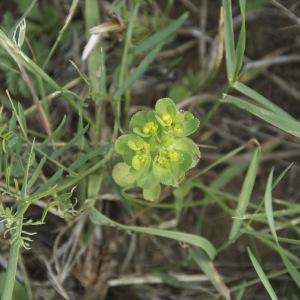 Photographie n°95907 du taxon Chrysosplenium alternifolium L.