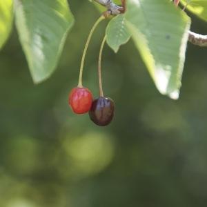 Photographie n°95949 du taxon Prunus avium (L.) L. [1755]