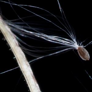 - Epilobium ciliatum Raf. [1808]