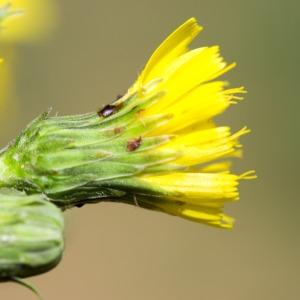 Hieracium sabaudum L. (Épervière de Savoie)