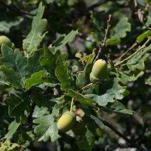 Photographie n°96232 du taxon Quercus pedunculata Ehrh. [1790]