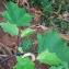 Jean-Jacques Houdré - Datura stramonium var. tatula (L.) Torr.