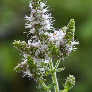 Mentha suaveolens Ehrh. (Menthe à feuilles rondes)