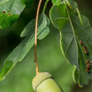 Photographie n°96341 du taxon Quercus robur L. [1753]