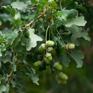 Photographie n°96342 du taxon Quercus robur L. [1753]