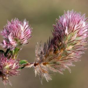 Trifolium arvense L. (Trèfle des champs)