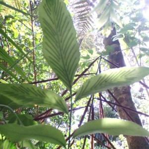 Photographie n°96405 du taxon Asplenium oblongifolium