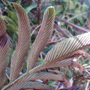 Photographie n°96417 du taxon Asplenium oblongifolium