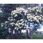 Acacia mearnsii De Wild. (Mimosa vert)