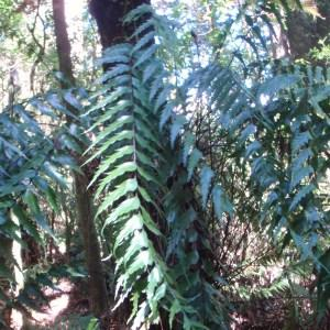 Photographie n°96459 du taxon Asplenium polyodon