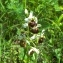 Claire Sutter - Ophrys fuciflora (F.W.Schmidt) Moench [1802]