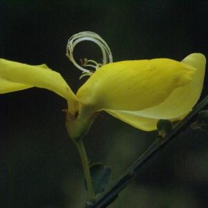 Photographie n°96506 du taxon Cytisus scoparius (L.) Link [1822]