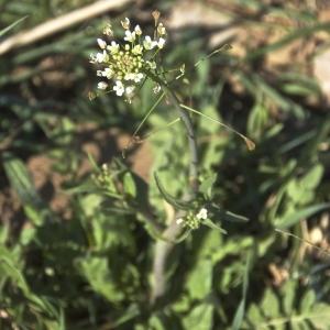 Photographie n°96512 du taxon Capsella bursa-pastoris (L.) Medik.