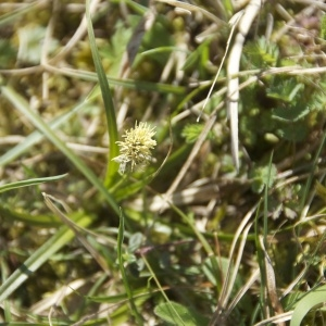 Photographie n°96520 du taxon Carex caryophyllea Latourr. [1785]