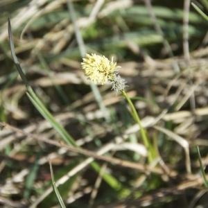 Photographie n°96521 du taxon Carex caryophyllea Latourr. [1785]