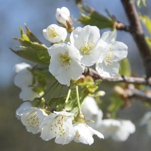 Prunus avium var. duracina (L.) L. [1771]