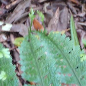 Photographie n°96567 du taxon Asplenium bulbiferum