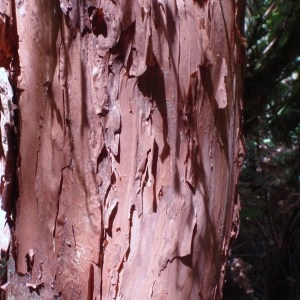 Photographie n°96575 du taxon Fuchsia  excorticata