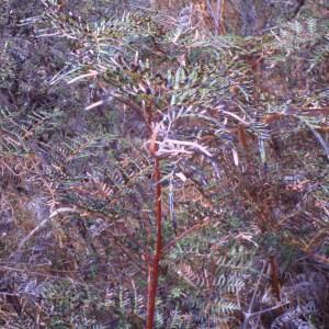 Photographie n°96580 du taxon Pteridium esculentum