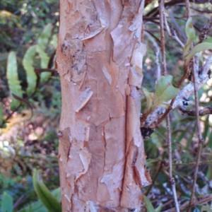 Photographie n°96657 du taxon Fuchsia  excorticata