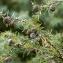 Jean-Jacques Houdré - Juniperus oxycedrus L.