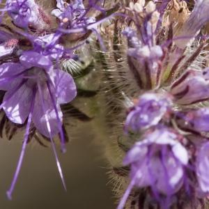 Phacelia tanacetifolia Benth. (Phacélie à feuilles de tanaisie)