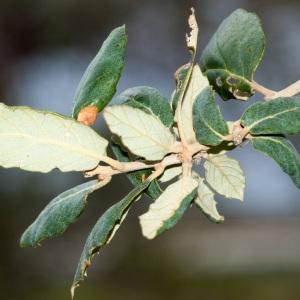 Photographie n°96702 du taxon Quercus suber L. [1753]
