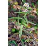 Symphyotrichum novi-belgii var. laevigatus (Lam.) B.Bock [2012] (Aster lisse)