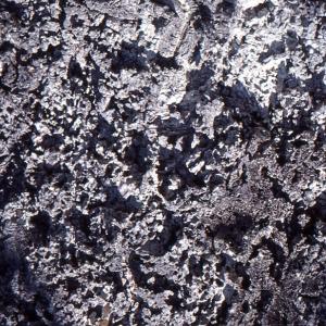 Photographie n°96740 du taxon Quercus suber L. [1753]