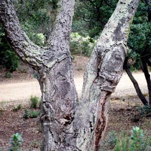 Photographie n°96742 du taxon Quercus suber L. [1753]