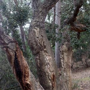 Photographie n°96747 du taxon Quercus suber L. [1753]