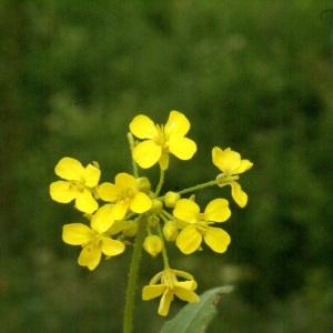 Photographie n°96753 du taxon Bunias orientalis L.