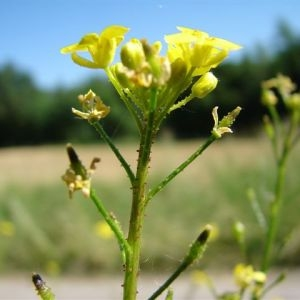 Photographie n°96756 du taxon Bunias orientalis L.