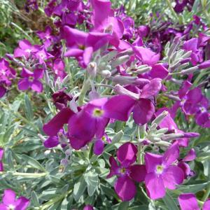 Matthiola incana (L.) R.Br. subsp. incana (Giroflée des jardins)